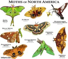 Praying Mantis Discover Moths of North America Poster Print Moth Species, Animal Species, National Geographic, Giant Leopard Moth, Giant Moth, Freshwater Turtles, Cecropia Moth, Turtle Images, Animal Illustrations