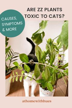 With any houseplant, if you have any pets, it's essential to know whether they are safe for our fluffies including the ZZ plant. This guide covers everything you need to know. Houseplants Safe For Cats, Toxic Plants For Cats, Zz Plant Care, Cat Symptoms, Easy Care Indoor Plants, House Plants, Herbs, Indoor House Plants, Foliage Plants