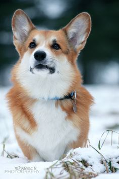 "500px / Photo ""Royal Corgi Boy"" by Sandra (Nikodema)"