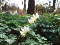 Dicentra cucllaria | by Brooklyn Botanic Garden
