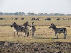 Stop by this week and next week to see some awesome photos of animals you may see on an African safari!! Here  we have the majestic zebra! So cool! www.thecruiseplanner.com