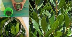 Όλοι γνωρίζουμε ότι η δάφνη είναι ένα πολύ καλό βότανοπου έχει μια ξεχωριστή θέση σε κάθε κουζίνα. Αλλά δεν ξέραμε ότι αυτά τα φύλλα είναι επίσης χρήσιμα...