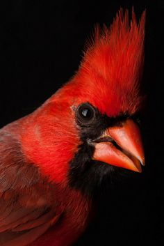 These Vivid Bird Photographs Nearly Fly off the Screen Northern Cardinal. Photo: Sean Graesser