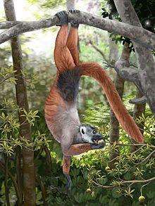 Pachylemur is an extinct, giant lemur most closely related to the ruffed lemurs of genus Varecia.