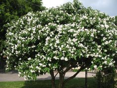 33 best trees images on pinterest trees to plant after dark and texas olive tree cordia boissieri mature size 10 h x 10 w mightylinksfo