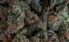 Girl Scout Cookies Marijuana Strain Takes The World By Storm