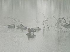 Zamglony zalew.... i nie przejmujące się niczym kaczki.