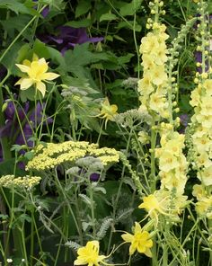 Yellow flowers-Achillea, Verbascum, Aquilegia w/clematis in the background. Lovely tonal melding.