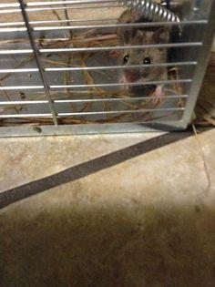 Raffigura un topo