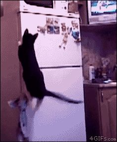 Some cats just jump up on the kitchen counter... This kitty takes a creative approach.