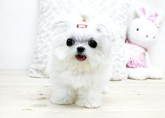 Micro Teacup Maltese Puppies | Boutique Teacup Puppies ~ Micro Teacup Maltese Puppy | Flickr - Photo ...
