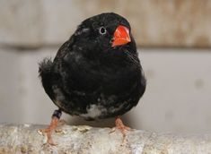 Zebra Finch, Rare Animals, Zebras, Bird Feathers, Beautiful Birds, Pet Birds, Pets, Horses, Animals