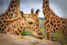 Baby Giraffe (Africam Safari. Mexico)