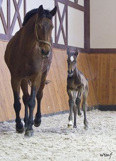 Westphalian mare and foal