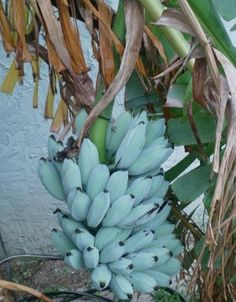 The Blue Java Banana(also known as Ice Cream banana, Hawaiian banana, Ney Mannan, Krie, or Cenizo) is a hardy, cold tolerant banana cultivar known for its sweet aromatic fruit which is said to have an ice cream like consistency and flavor reminiscent of vanilla.