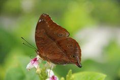 butterfly#slurrp..yummy#nectar