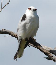 https://flic.kr/p/8J4224 | Black - shouldered Kite | One of my favourite birds! A Black - shouldered Kite, Elanus axillaris giving me the eye at Lake Seppings, Albany, Western Australia. I followed him around and got him perched and gradually snuck closer.  Hand held Nikon 80 400mm