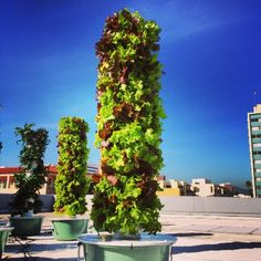 LOVE this lettuce tower! It's a great way to grow in an urban environment.