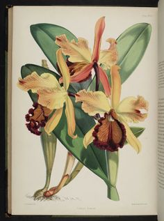 Cattleya dowiana. Select orchidaceous plants [Second series]  London :L. Reeve,1865-1875.  Biodiversitylibrary. Biodivlibrary. BHL. Biodiversity Heritage Library