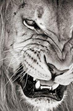 lion | Tumblr