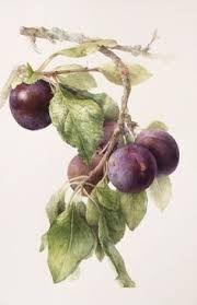 Image result for kate green botanical artist