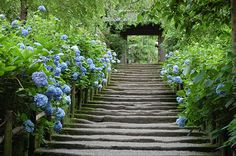Visiting Kamakura, Japan, to view Hydrangeas Meigetsuin-Temple 11,06,21明月院あじさい-3
