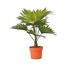 kaktusz   kaktuszok   pozsgás dísznövények - Fitoland.hu - Legyezőpálma…
