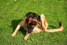 It's normal for dogs to experience skin irritation at some point. But in certain cases, dog itchy skin problem can become overwhelming. Here are five ways to help itchy skin on dogs and how to do it. German Shepherd Facts, German Shepherd Training, German Shepherd Puppies, German Shepherds, Dog Flea Treatment, Essential Oils Dogs, Oils For Dogs, T Rex, Fleas