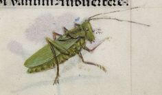 Detail of a grasshopper, from the Breviary of Queen Isabella of Castile, Netherlands (Bruges), c. 1497