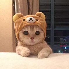 My cute cat Baby Animals Super Cute, Cute Baby Cats, Cute Little Animals, Cute Cats And Kittens, Cute Funny Animals, I Love Cats, Kittens Cutest, Ragdoll Kittens, Tabby Cats