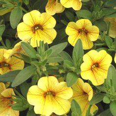 Million+Bells®+Tropical+Delight+-+Calibrachoa+hybrid Million Bells, Diy Planters, Planting Flowers, Flower Plants, Tropical Plants, Live Plants, Pretty Flowers, Container Gardening, Seeds