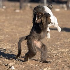 A baboon gives a young goat a piggyback as they play together in the afternoon sun. South African wildlife photographer captured the scene.