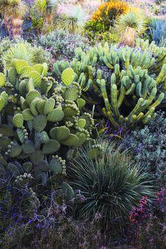 Gros plan sur un opuntia acicularis américain, l'un des principaux genres de la famille des cactus avec près de 250 espèces / © Marie Taillefer