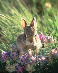 2016 http://advocacy.britannica.com/blog/advocacy/wp-content/uploads/bunny.jpg  Nuttall's cottontail rabbit (Sylvilagus nuttalli) close-up by Daniel J Cox on Getty