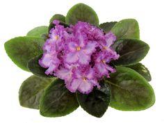 Opera's Il Straniero, пас.04.12.15 г. Пример цветения из Сети, автора фото не знаю