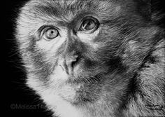 Melissa Helene | Blog: Art & Our World Endangered Species Series | Barbary Macaque