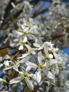 May Serviceberry, or Juneberry, or Saskatoon berry Berry, Plants, Bury, Planters, Plant, Planting