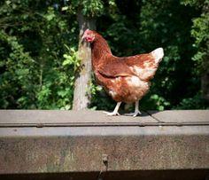 goldline hens for eggs