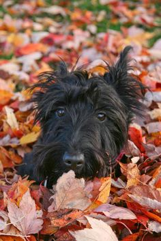 """Scottish Terrier"" by Brent Carbrey, Vancouver // Running in the leaves, I found a nice pile to lay down in // Imagekind.com -- Buy stunning, museum-quality fine art prints, framed prints, and canvas prints directly from independent working artists and photographers."