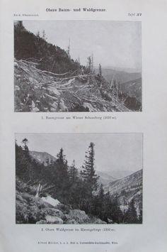 BAUMGRENZE WALDGRENZE Kiefern Botanik Druck Antik Antique Print Litho Wald Berge