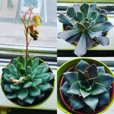 My 3 new succulents because my older ones outgrew my windowsill  #succulents #pretties #houseplants #succulent #cactus #succulentgardening #propagatingsucculents 25 Types of Succulents & How to Grow It for Beginners