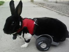 Aww I wish I had this years ago for my dutch. I adopted him after he was paralyzed,  so I tricked out a remote control jeep for him to ride in. Sammy will forever in my heart ♥ I miss him dearly!