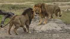 Jericho the lion (right), seen here fighting with Cecil last year, was the subject of competing stories Saturday, as groups in Zimbabwe disagreed over whether he had been killed. Most Beautiful Animals, Beautiful Cats, Lion Sketch, Lion Photography, Black Lion, Lion Pictures, Le Roi Lion, Animals Of The World, Big Cats