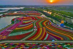 Tulip fields in Netherlands. - pics Tulip fields in Netherlands. Planting Tulips, Tulips Garden, Tulip Fields Netherlands, The Netherlands, Dutch Tulip, Tulip Painting, Tulips In Vase, Tulips Flowers, Photos Du