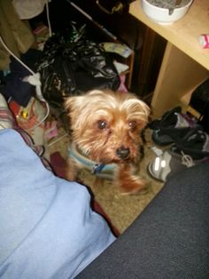 Lost Dog - Yorkshire Terrier in QUEENS VILLAGE, NY     	 Pet Name:	pooh bear   (ID# 44596) Gender:	Male Breed:	Yorkshire Terrier Color:	Brown Color 2:	Black Pet Size:	X-Small (2-9lbs) Pet Age:	6years Date Lost:	11/01/2013 Zip Code:	11429 (QUEENS VILLAGE, NY) Pet Name:	pooh bear   (ID# 44596) Gender:	Male Breed:	Yorkshire Terrier Color:	Brown Color 2:	Black Pet Size:	X-Small (2-9lbs) Pet Age:	6years Date Lost:	11/01/2013 Zip Code:	11429 (QUEENS VILLAGE, NY)