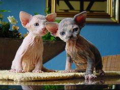 Sphynx kittens -- if Yoda and a cat had offspring. Or more like Golum kittens.