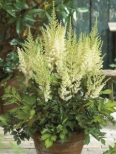 Astilbe 'Diamonds and Pearls'