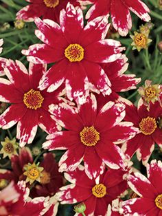 Coreopsis Ruby Frost - Tickseed - Large, deep ruby flowers are fringed with a collar of frosty white. Truly a colour breakthrough in the world of Coreopsis. A great, low compact habit. All coreopsis require excellent drainage. Flower Garden, Flowers Perennials, Pretty Flowers, Tickseed, Planting Flowers, Plants, Beautiful Flowers, Love Flowers, Perennial Plants