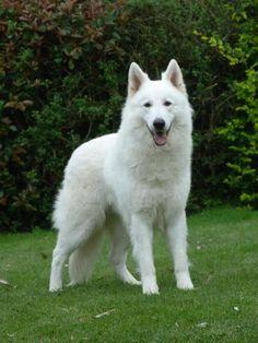 Pastor alemán blanco, los mejores perros del mundo!