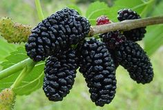 Dwarf Everbearing Mulberry Plant - Morus nigra - Sweet Fruit - Pot >>> Learn more by visiting the image link. Mulberry Plant, Mulberry Fruit, Mulberry Bush, Mulberry Tree, Raspberry Plants, Blackberry Plants, Fruit Garden, Live Plants, Fruits And Veggies